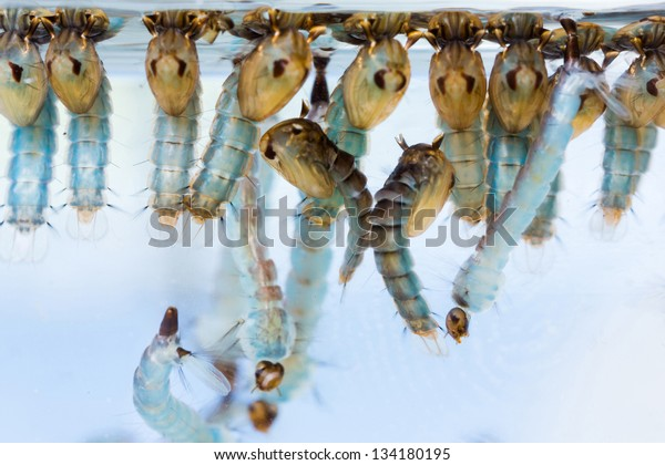 Close up mosquito pupae and larvae underwater