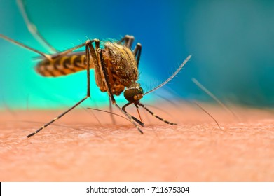 Close up of Mosquito sucking blood. Aedes Aegypti Mosquito on human skin.Mosquito vector borne disease is carrier of Malaria, Zica Virus, Chikungunya, Dengue,Yellow Fever,Encephalitis and Mayaro Fever