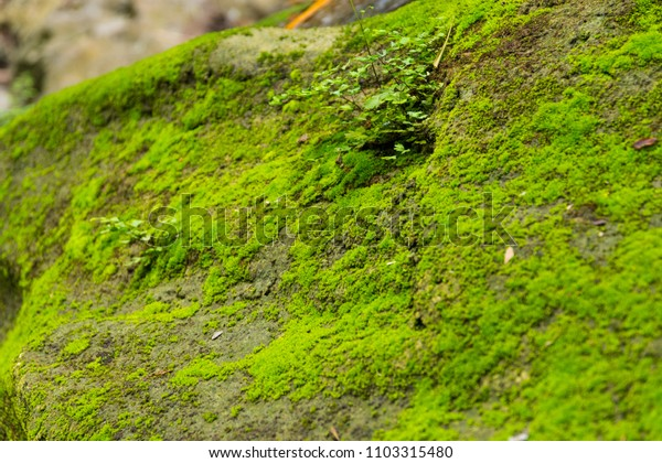 Close up moss on stone in forest, Moisture from the waterfall.