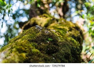 Close up moss on the tree with bokeh in the background at Kew Mae Pan Mountain Ridge in Chiang Mai, Thailand.