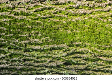Close up of Moss on tree. Nature life background. Close Up of Tree Bark with Moss. Tree bark texture with green moss