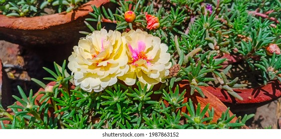 Close up the moss rose flower. Flowres in pots.Moss rose or Portulaca grandiflora or Rose moss or Ten oclock or Mexican rose or purslane fast growing annual plant with open blooming flowers.