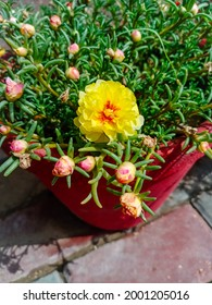 Close up moss rose flower. Flowres in pots.Moss rose or Portulaca grandiflora or Rose moss or Ten oclock or Mexican rose or purslane fast growing annual plant with open blooming flowers.