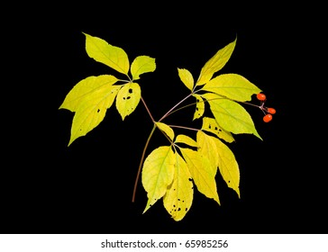 A close up of the most famous medicinal plant ginseng (Panax ginseng). Autumn. Isolated on black.