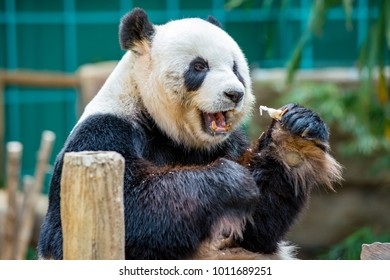 Close up of most well-known bear, the eight-year-old pair's of Giant Panda (Ursidae : Ailuropoda Melanoleuca), Xing Xing and Liang Liang (formerly known as Fu Wa and Feng Yi) eating hard bread happily