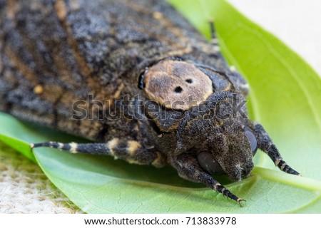 Sưu tập Bộ cánh vẩy 2 - Page 11 Close-moth-butterfly-acherontia-styx-450w-713833978
