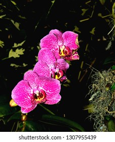 Close up of Moth Orchid flowers or Phalaenopsis orchids.