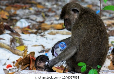 Close up of mother and baby Monkeys (crab-eating long-tailed Macaque, Macaca fascicularis) on polluted beach playing with plastic trash on Ko Phi Phi, Thailand