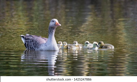 Close up of a mother goose and her young  goslings on a lake