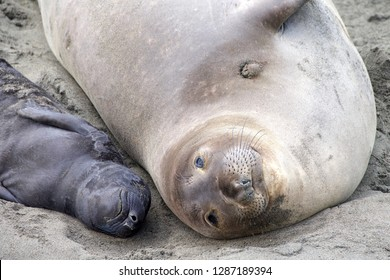 Close up of Mother and newborn baby elephant seals laying side by side. Mom knows her pup by their scent. Mother and pup stay together for about a month, the mother feeding the baby with fat-rich milk