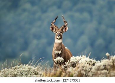 Close up of a Mountain Nyala standing in the grass, Ethiopia.