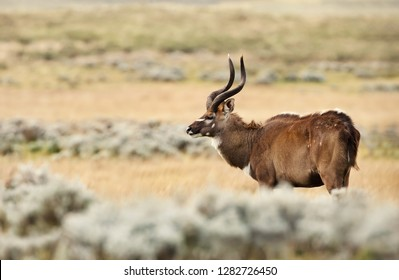 Close up of a Mountain Nyala standing in grass, Gaysay Grassland, Ethiopia.