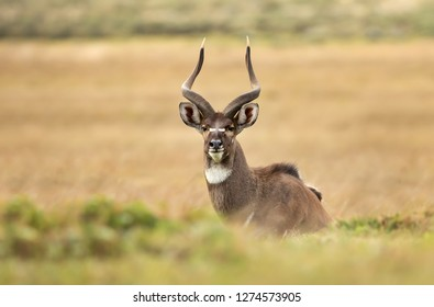 Close up of a Mountain Nyala (Tragelaphus buxtoni) lying in the grass, Ethiopia