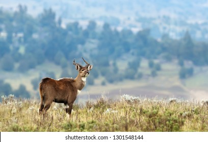Close up of a Mountain Nyala (Tragelaphus buxtoni) standing in grass, Ethiopia.