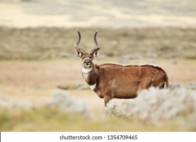 Close up of a Mountain Nyala (Tragelaphus buxtoni) standing in the grass field, Ethiopia.