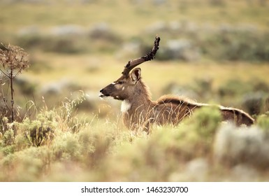 Close up of a Mountain Nyala (Tragelaphus buxtoni) standing in the grass, Ethiopia.