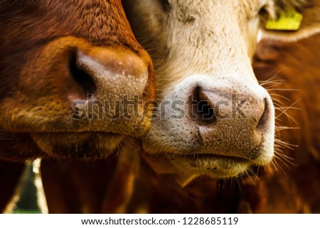 close mouths noses 2 cows red stock photo edit now 1228685119