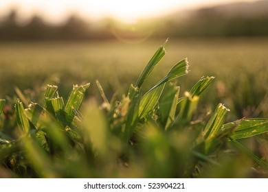 close up of mowed grass while the sun goes down