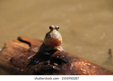 Close up mudskipper fish,Amphibious fish Lying on a log and looking at camera in the mangrove forest