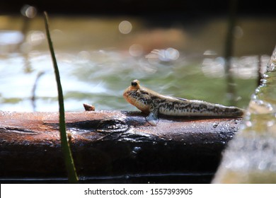 Close up mudskipper fish,Amphibious fish Lying on a log  in the mangrove forest