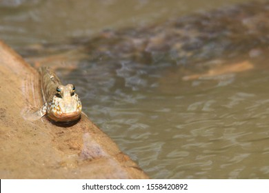 Close up mudskipper fish,Amphibious fish standing on a tree branch at mangrove forest