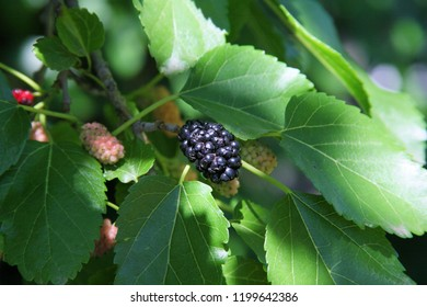 Close up of mulberries growing on mulberry tree branch, mulberries hanging on a branch, mulberry tree