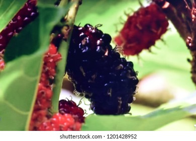 Close up of mulberries growing on mulberry tree branch, mulberries hanging on a branch, mulberry tree blurred photo