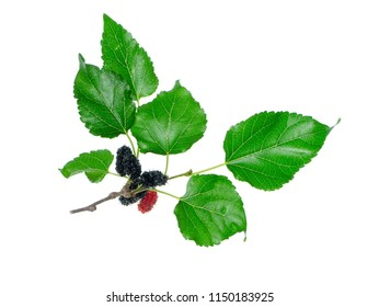 Close up of mulberry fruit with leaf on white background.