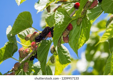 Close up of a Mulberry (Morus) Tree branch with its fruit / berries.