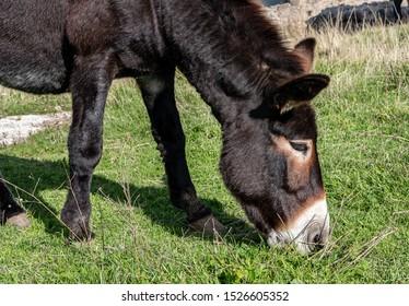 Close up of a mule grazing grass.