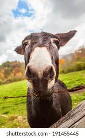 Close up of mule's nose, curiosity.