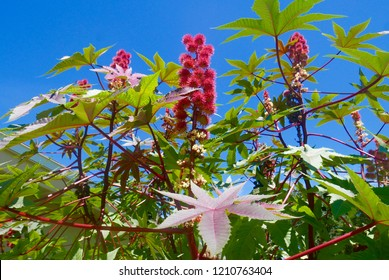 Close up of multicolored castor bean plant with blooms