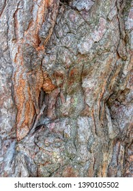 Close up of the multi-colored, rough bark of a Spruce tree.
