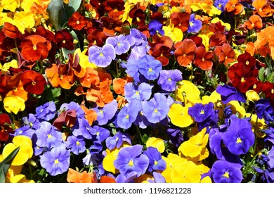 Pansies Images Stock Photos Vectors Shutterstock