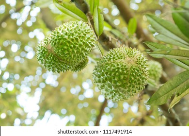 Close up musang king durian on tree.