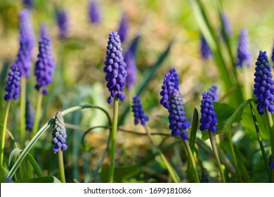 Close up of Muscari armeniacum or grape hyacinth on a spring day .Blue Muscari.