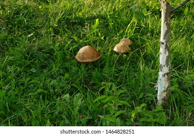 Close up of mushrooms in a vibrant, healthy field. Mushroom in the green grass. Photo of a mushroom growing in lawn grass. Background for a banner with  mushrooms and space for copywriting