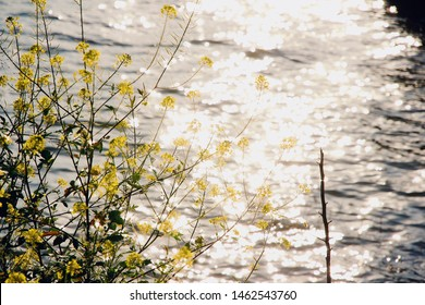 Close up of mustard flowers on the shoreline of Lake Galilee, water in background