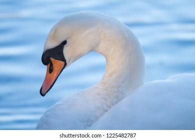 Close up of Mute Swan (Cygnus olor) Against Water