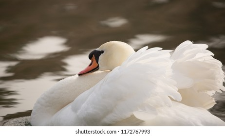 A close up of a mute swan in a threat display know as busking with wings half raised and neck curled back.
