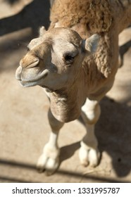 Close up muzzle of funny camel looking at camera photo taken in safari park in Spain