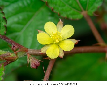 Close up of Nalta Jute flower. (Corchorus olitorius)