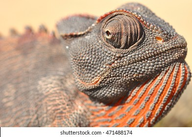 Close up of a Namaqua Chameleon in Namibia Africa
