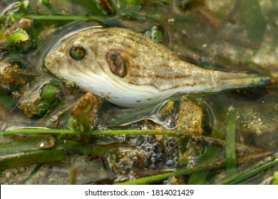 Close up of Narrow lined pufferfish, Lombok, Indonesia. A young individual Arothron manilensis among seaweed at a low tide time. Small fish on the sea grass by the Indian ocean