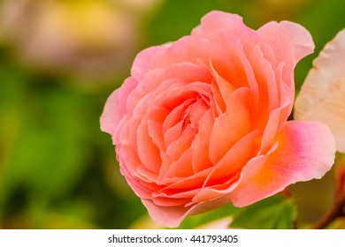Close up natural beautiful roses flower in the garden / Selective focus