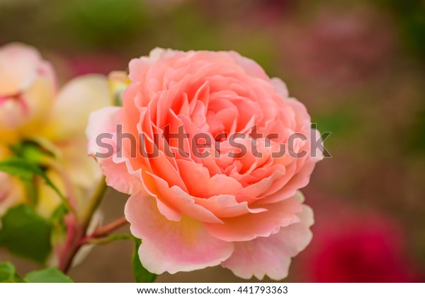 Close Natural Beautiful Roses Flower Garden Stock Photo