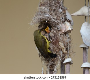 close up natural scene of wild female olive back Sunbird building bird nest hanging against yellow wall