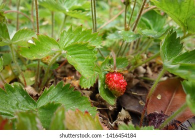 Close up natural wild strawberry red fruit among green leaves in spring season. Focus on the colourful, odd shape small red fruit surrounded by blurry strawberry leafs as space to add own text.