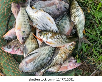 Close up nature group of raw freshwater fish, Tilapia and Nile tilapia and common silver barb catch in mesh bag with nature green grass and mountain background.Countryside thailand.