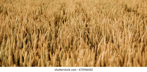 Close up nature photo Idea of a rich harvest wheat field